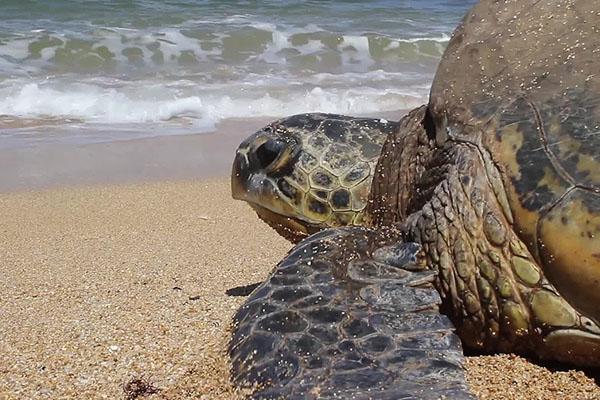 bp surf hotel playa grande costa rica leatherback olive ridley turtle las baulas national park